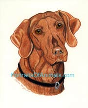 Vizsla Dog Portrait - Pet Portraits by Cherie