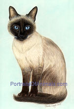 Tonkinese Cat Portrait