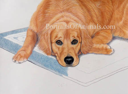 Golden retriever portrait: Pet Portraits by Cherie Vergos