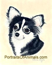 Long Haired Chihuahua Dog Portrait - Pet Portraits by Cherie